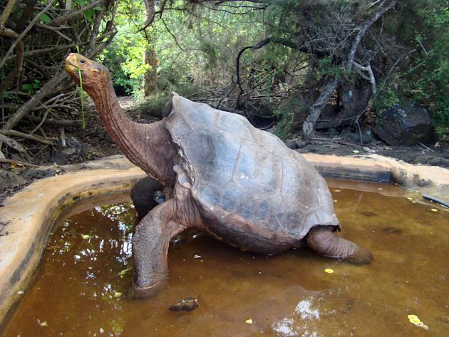 This undated photo released by Galapagos National Park shows tortoise Diego at Galapagos National Park. Diego is another centenarian reptile, but unlike Lonesome George who was not able to reproduce,
