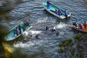 Fishermen in wetsuits hunt dolphins at a cove in Taiji