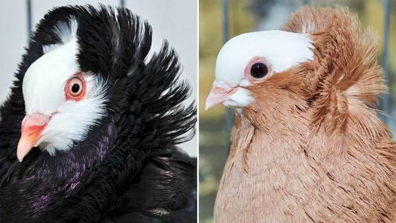 How Rock Pigeons Got Their Mullets