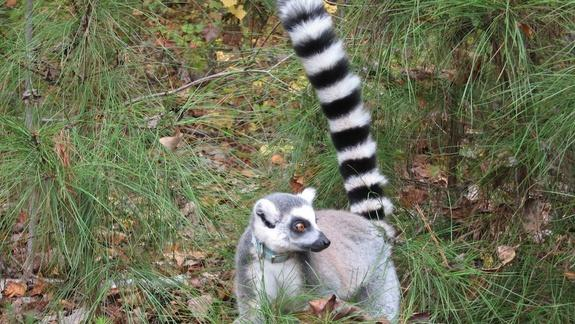 Social Lemurs Have More 'Street Smarts,' Study Finds