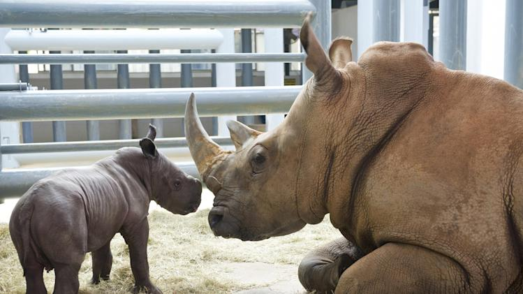 White Rhino Born At Disney's Animal Kingdom At Walt Disney World