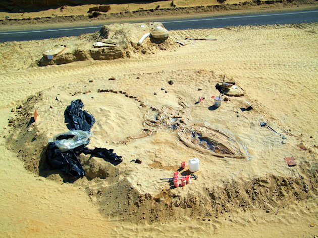 In this Aug. 24, 2010 photo released by Chile's Paleontological Museum of Caldera, a prehistoric whale fossil lies embedded in the Atacama desert near Copiapo, Chile. More than 2 million years ago, sc