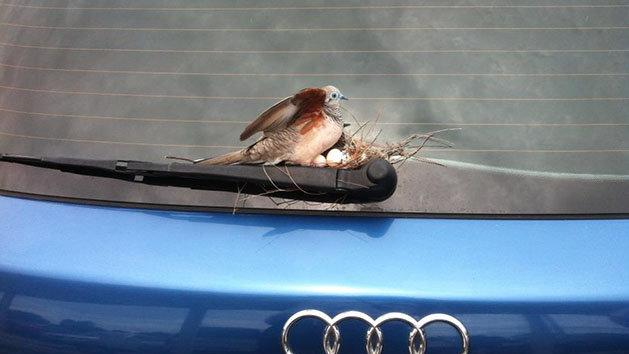 Bird makes home, lays eggs on car's windshield wiper