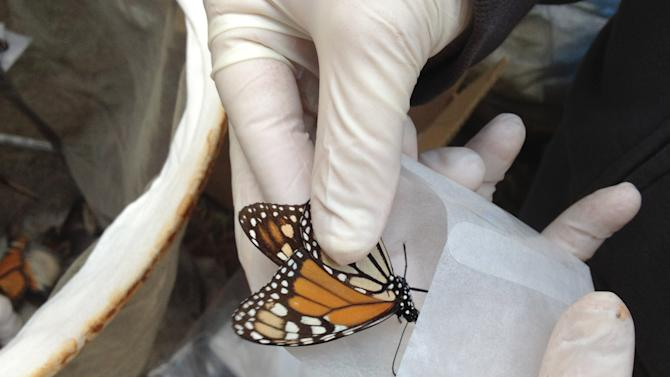 In this Feb. 15, 2013 photo, a scientist collects a Monarch butterfly to be tested for the ophryocystis elektroscirrha parasite that inhibits their flight, at El Capulin reserve, near Zitacuaro, Mexico. Every year, millions of monarchs migrate from the eastern United States and Canada to central Mexico, a journey of over 2,000 miles. The tiger-striped butterflies arrive in late October and early November to hibernate in fir trees until February. The scientist is part of a research project conducted by the World Wildlife Fund of Mexico and the University of Georgia and University of Minnesota. (AP Photo/Marjorie Miller)