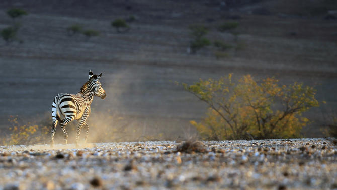 In this photo taken Monday Aug. 5, 2013, a wild zebra runs in the dust near the Mount Himba Sphinx, northern Namibia. Namibia is a country prone to droughts, but the current one is said to be the worst in three decades. An estimated 778,000 Namibians, which equates to a third of the country's population, are either severely or moderately food insecure. To cope families are selling assets such as livestock, reducing the number of meals eaten in a day, and many are migrating to cities to find work. (AP Photo/Jerome Delay)