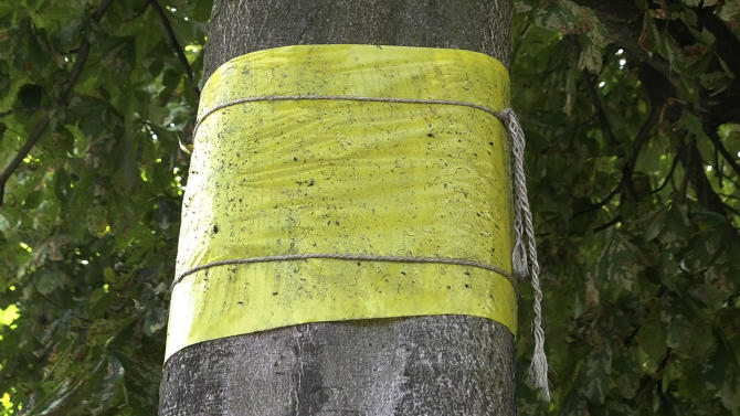A yellow plastic is wrapped around a chestnut tree to contain caterpillars in Westmalle, Belgium, Thursday, Aug. 23, 2012. The great chestnut trees of Europe are dying. Without any clear reason, a moth became rampant and spread through much of Europe about a decade ago. In Britain, it first surfaced in Wimbledon in 2002 and soon spread across England and Wales. Look at the annual distribution maps since, and they could come straight out of a movie about the outbreak of a scary virus. The moth lays eggs in the leaves and later the larvae start devouring them, shriveling leaves as soon as July. (AP Photo/Virginia Mayo)