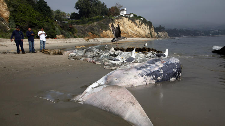 People look at  a dead young male fin whale that washed up Monday between the Paradise Cove and Point Dume areas of Malibu, Calif. on Thursday, Dec. 6, 2012. The rotting carcass near celebrity homes is causing a gigantic cleanup problem as authorities try to decide who's responsible for getting rid of it. Los Angeles County lifeguards planned to try to pull the 40,000-pound carcass out to sea, perhaps at high tide Thursday, said Cindy Reyes, executive director of the California Wildlife Center.( AP Photo/Nick Ut)