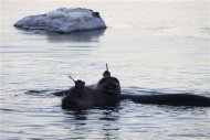 Two Southern Ocean elephant seals wearing sensors on their heads swim in the Southern Ocean, Antarctica, in this handout photo taken March 9, 2011. Elephant seals wearing head sensors and swimming deep beneath Antarctic ice have helped scientists better understand how the ocean&#39;s coldest, deepest waters are formed, providing vital clues to understanding its role in the world&#39;s climate. The tagged seals, along with sophisticated satellite data and moorings in ocean canyons, all played a role in providing data from the extreme Antarctic environment, where observations are very rare and ships could not go, said researchers at the Antarctic Climate & Ecosystem CRC in Tasmania. The sensor weighs about 100 to 200 grams and has a small satellite relay which transmits data on a daily basis. Picture taken March 9, 2011. REUTERS/Iain Field/Antarctic Climate and Ecosystems CRC/Handout
