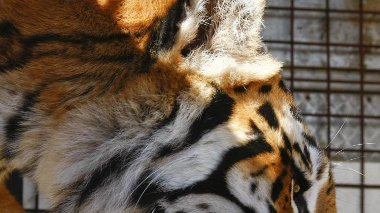 A tiger picks up its newborn cub in its mouth in a cage at the Viviana Orfei Circus of Italy on Manoel Island in Valletta's Marsamxett Harbour