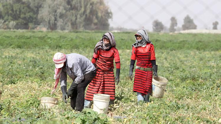 Syrian workers living in Jordan work on a tomato farm in Shouneh