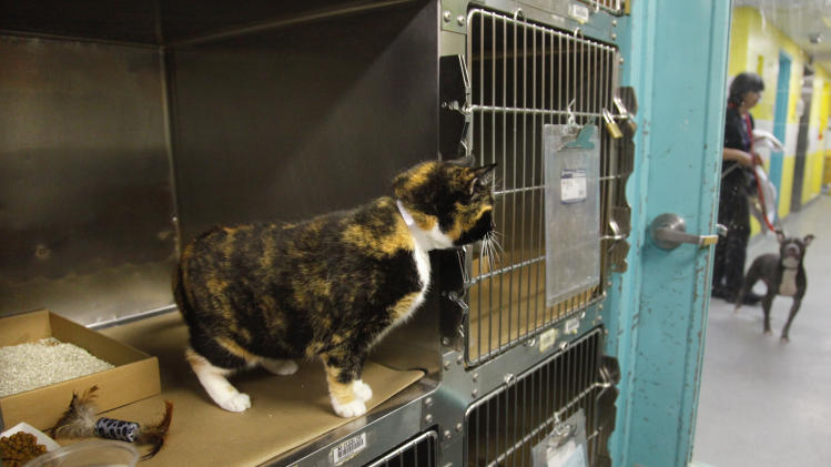 Willow, a 6-year calico cat that went missing from her Colorado home during a renovation 5 years ago, stares out from a cage at her temporary home on Wednesday, Sept. 14, 2011, in New York's Animal Care and Control (ACC) facility.  Willow, found as a stray in Manhattan and brought to ACC, had been tagged with an identification microchip and will soon be  reunited with her owners.   (AP Photo/Bebeto Matthews)
