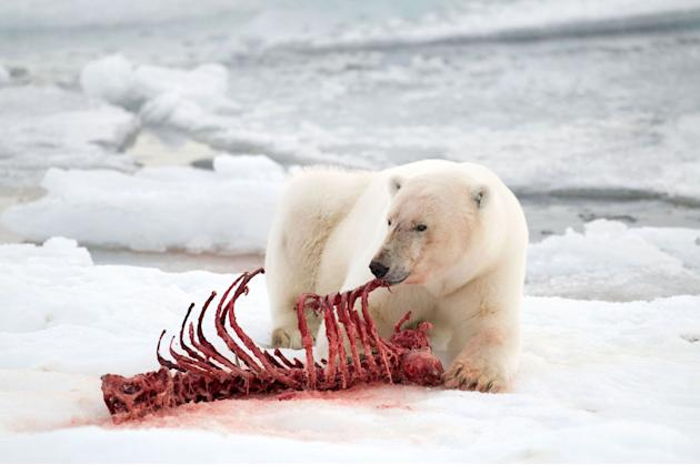 Polar bear eating seal coke - photo#2