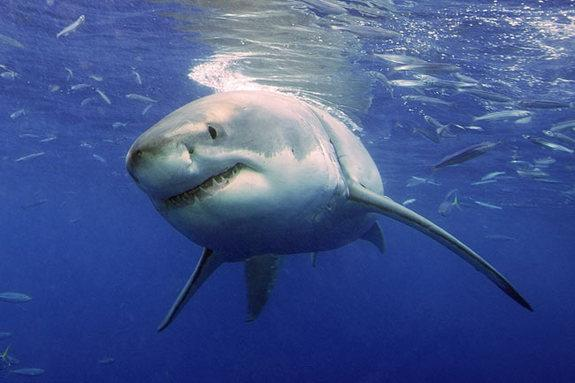 Travels of Pregnant Great White Sharks Revealed