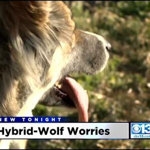 Yolo County Woman's Dogs Seized After Online Ads Describe Them As Part-Wolf