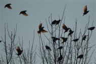 A flock of blackbirds perch in trees in the town on Hopkinsville, Kentucky February 16, 2013. REUTERS/Harrison McClary