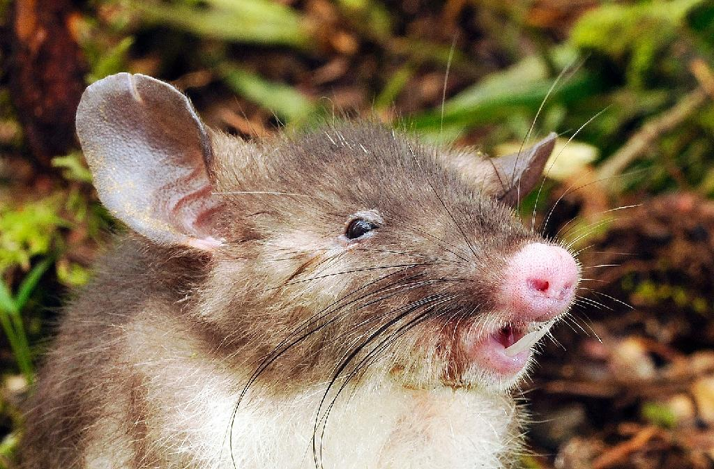 'Hog-nosed rat' discovered in Indonesia
