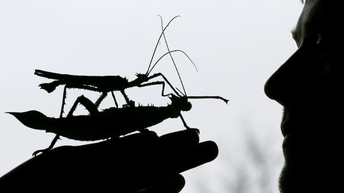 A male jungle nymph sits on a female jungle nymph during a photo call for the annual stock take at London Zoo, Thursday, Jan. 3, 2013. More than 17,500 animals including birds, fish, mammals, reptiles and amphibians are counted in the annual stock take at the zoo. (AP Photo/Kirsty Wigglesworth)