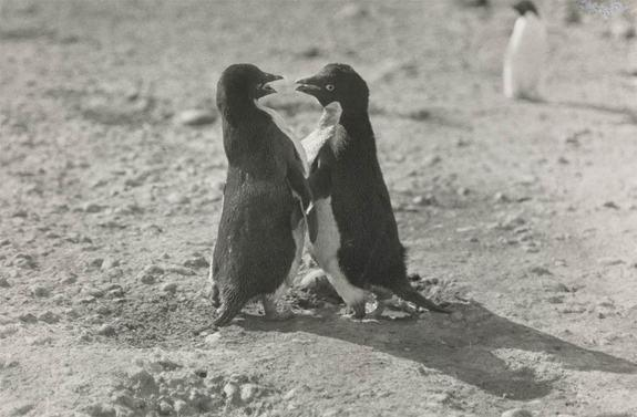 Penguins' Explicit Sex Acts Shocked Polar Explorer