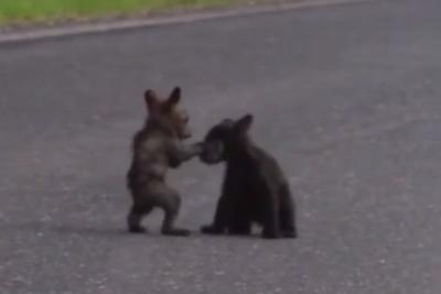 Watch adorable, tiny bear cubs wrestle at Yosemite National Park