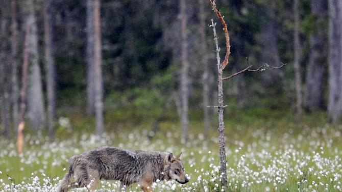 Authorities gave permits to licensed hunters to kill 46 of Finland's estimated 250 grey wolves, though three remained unused