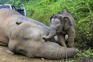 A baby elephant stays close to a dead pygmy elephant in the Gunung Rara Forest Reserve, in Malaysia, January 29, 2013. Officials believe the animals may have been poisoned, possibly by substances left out by workers at nearby oil palm plantations to deter the animals from eating their palm fruit