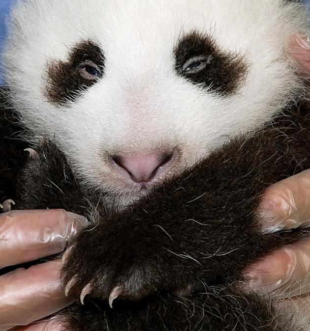 In this Sept. 20,2012 file photo provided by the San Diego Zoo, the panda cub at the San Diego Zoo is shown during his fifth veterinary exam. The male panda, born on July 29, 2012. The San Diego Zoo h