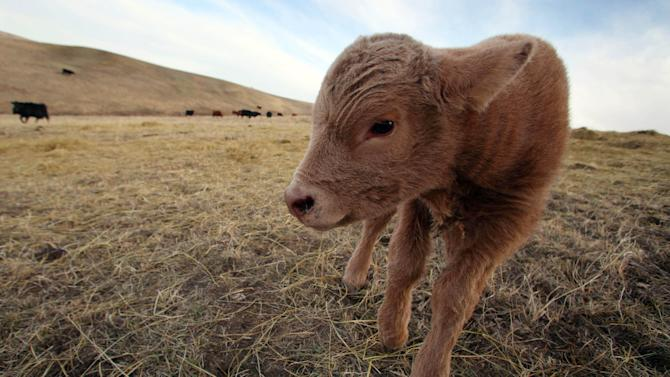 In this March 17, 2014 a newborn calf stands in a field on the O'Connor Ranch near Philip, South Dakota. The arrival of spring calving season brings hope to Chuck O'Connor who lost 45 of his 600 cows and 50 of his 600 calves in last fall's unexpected blizzard. (AP Photo/Toby Brusseau)
