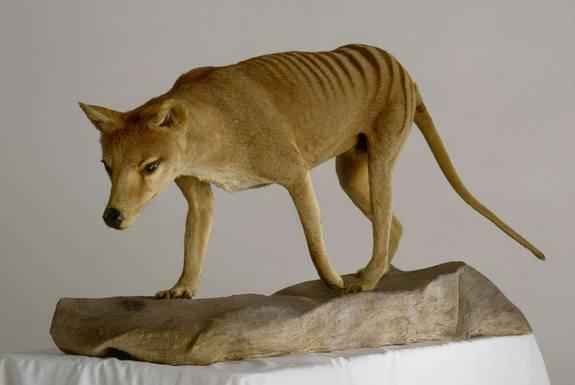 How Taxidermy Keeps Extinct Animals Around