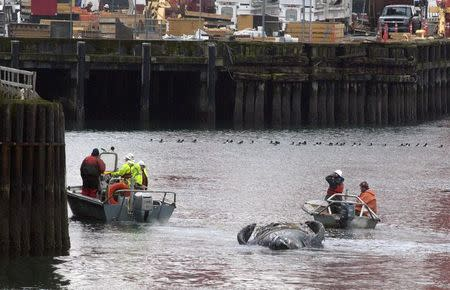 Whale carcass washes up underneath busy Seattle ferry dock