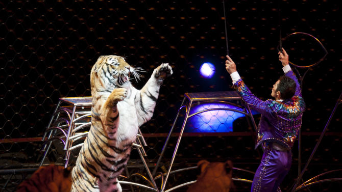 """This January 2012 photo provided by Feld Entertainment, producers of Ringling Bros. and Barnum & Bailey, shows big cat trainer Alexander Lacey presenting tigers during Ringling Bros. """"Dragons"""" show launched in Tampa, Fla. The circus' big cats """"have an opportunity to eat, sleep and reproduce in an environment that is stimulating for them,"""" said Lacey, one of a number of Ringling performers who come from multi-generational circus backgrounds. The key, he said, is to make sure that the lions and tigers' days are interesting for the time they are awake; they typically sleep 18 to 20 hours a day.  (AP Photo/Feld Entertainment, Heinz Kluetmeier)"""