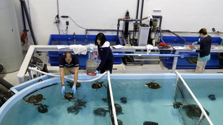 In this Thursday, Dec. 6, 2012 photo, rescued sea turtles are cared for at the New England Aquarium's Animal Care Center in Quincy, Mass. Sea turtle strandings in Cape Cod Bay are so common that the phenomenon has its own annual season and an established network of rescuers trained to find and help the endangered animals. (AP Photo/Elise Amendola)