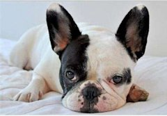 French Bulldog via Shutterstock