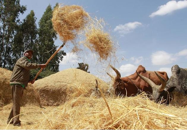 Ethiopia's teff grain set to be world's next 'super-food'