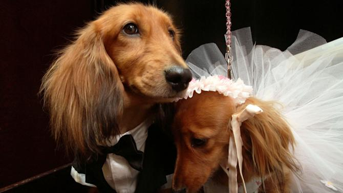 "Dachshunds dressed for the occasion, Clifford, left, and his cousin Dee Dee, share a moment as they wait to take part in the most expensive wedding for pets Thursday July 12, 2012 in New York.  The black-tie fundraiser, where two dogs were ""married"", was held to benefit the Humane Society of New York. (AP Photo/Tina Fineberg)"