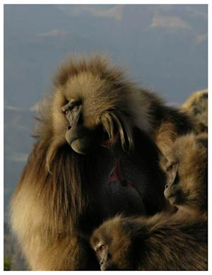 Gelada Baboon Yawns Send Social Messages