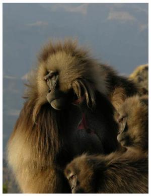 Gelada Baboon Yawns Send Social Messages