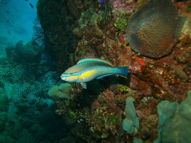 In this May 3, 2012 photo, a princess parrotfish is seen in the Saba Marine Park in Saba in the Caribbean. About 150 species of fish have been identified in the waters of Saba, a Dutch municipality that is popular with divers. (AP Photo/Brian Witte)