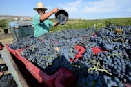 Hand pickers harvest grapes at Lacerta winery in Dealu Mare, Bucharest. The winery has a state-of-the-art processing unit that uses gravity to process grapes and a terrace overlooking the hills to welcome oenophile tourists