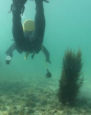 USC Dornsife Scientific Diving: An Analysis of Sargassum Horneri Ecosystem Impact