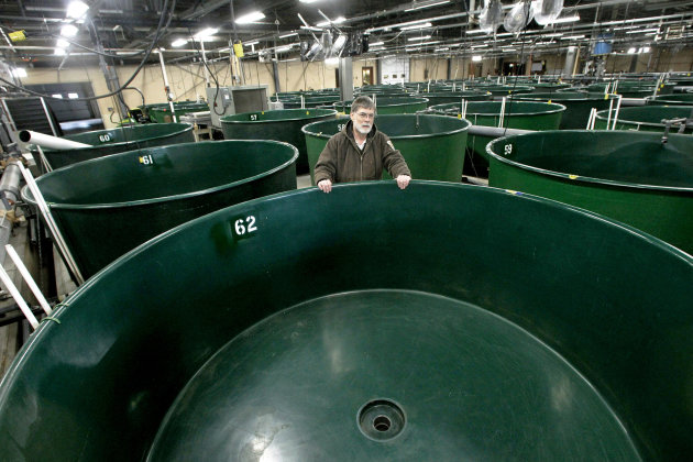 &lt;p&gt;               In this Thursday, Jan. 17, 2013 photo, hatchery manager Ken Gillette stands in the incubator room at the White River National Fish Hatchery in Bethel, Vt. The U.S. Fish and Wildlife Service says repairs to the Bethel fish hatchery damaged by flooding from Tropical Storm Irene are almost complete and it should resume raising fish in March or April. (AP Photo/Toby Talbot)