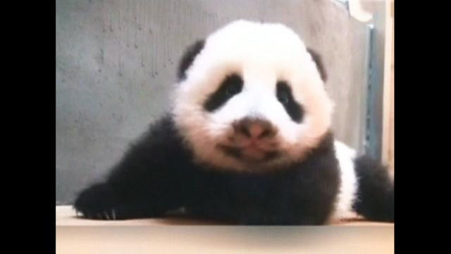 Watch: Giant panda cub tries to crawl