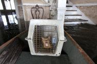 Lovey, a cat belonging to Don Duplantier, meows from its kennel in a pirogue brought to transport him, from his flooded home in Braithwaite, La., in the aftermath of Hurricane Isaac, Sunday, Sept. 2, 2012. (AP Photo/Gerald Herbert)