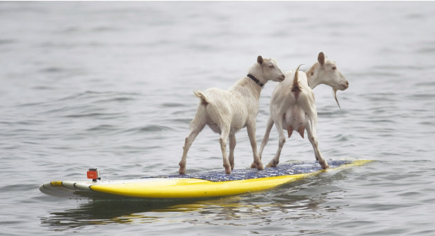 Dana NcGregor's pet goats Pismo, left, and Goatee surf at San Onofre State Beach, Calif., on Wednesday July 11, 2012. McGregor started taking Pismo's mother Goatee to the beach, and it wasn't long bef
