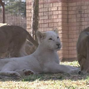 Raw: Lion Cubs Make Debut in Johannesburg