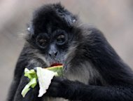 This file photo shows a spider monkey eating a watermelon at a zoo in northern Tegucigalpa, Honduras. The developed world's insatiable appetite for products like coffee and timber is threatening the survival of one in three vulnerable animal species in poor countries, according to an Australian study