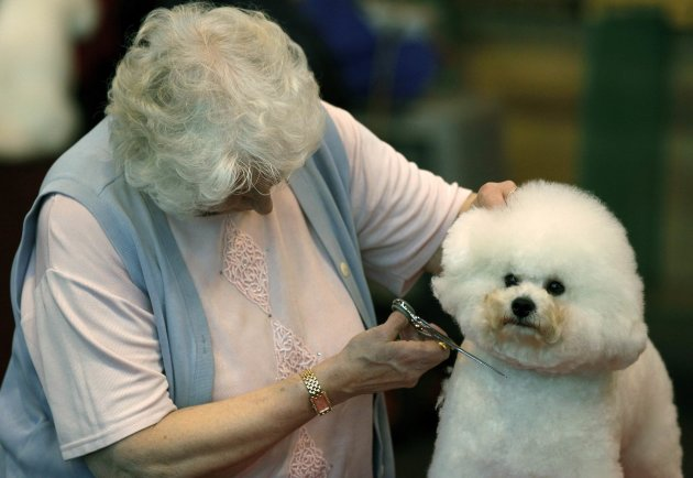 A Bichon Frise is trimmed …