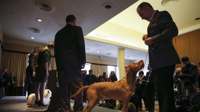 Izzy, a Wirehaired Vizla new entry breed for the competition, stands with its owner during a press conference for the upcoming 139th Annual Westminster Kennel Club Dog Show in New York