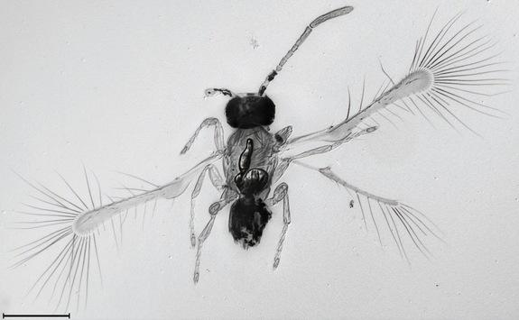 New 'Fairy' Insect Is Mind-Blowingly Small