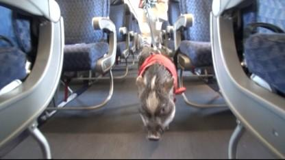 Woman Takes 70-Pound Pot-Bellied Pig on Plane For Support: 'He's Quieter Than Most Kids'