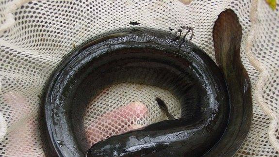 Eel Mystery Deepens with Shark Chow-Down